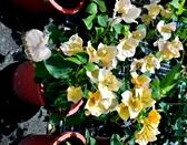 [淺橘色 九重葛盆栽] 6-8吋盆 活體室外植物 開花植物盆栽