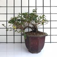 明陽盆栽*【樹葡萄(不含盆)】高18*寬45*直徑7cm 含盆另+2000元