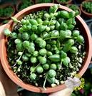 [綠之鈴錦斑 佛珠錦] 3寸盆 活體多肉植物 仙人掌多肉盆栽 送禮小品盆栽 室外半日照佳