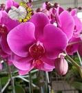 冬天才有 4吋盆 [ 紫紅色蝴蝶蘭蘭花盆栽] 室內植物 活體花卉盆栽 過年送禮蘭花盆栽