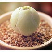 ⓒ雞蛋山地玫瑰種子 (10顆裝) 進口多肉植物種子【F42】