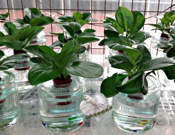 [水耕圓葉椒草盆栽 大陸稱吸菸草] 專利玻璃瓶 水耕植物盆栽 可放室內 光線充足的環境較好