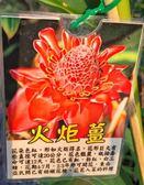 樹苗-花苗-*火炬薑* /6吋盆/高50-60Ccm/喜歡陽光充足的環境【花花世界玫瑰園】m