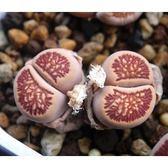 CARMO菊紋章種子(10顆裝)多肉植物生石花種子【E22】