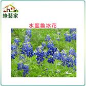 【綠藝家】大包裝H05.魯冰花(水藍色)種子500顆