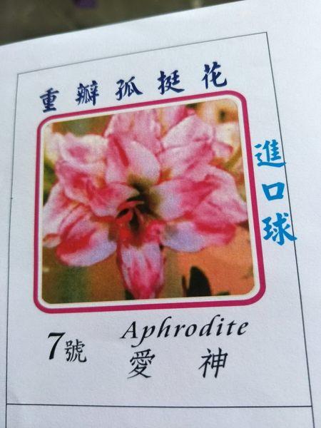 季節花卉--種子 球根 **重瓣孤挺花--愛神(7號) **夢幻【花花世界玫瑰園】S