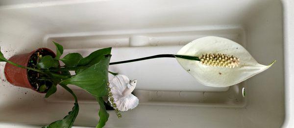 [現在寄出的沒有花!!!] 活體 白綠色小白鶴芋 室內植物3吋盆栽 可以淨化空氣