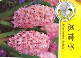 [超香 粉紅色風信子盆栽] 2.5寸盆 室內濃香花卉 多年生球根類觀賞花卉盆栽