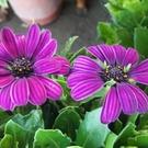 花花世界_襯景植物-- 藍眼菊 (深紫色),菊科--多年生草本/5吋高10~20公分/Tm