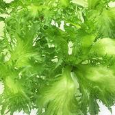 預購 【安心蔬食】水耕蔬菜-香波綠火焰菜(150g)