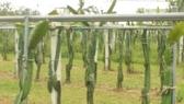 [宜蘭]採果體驗-水岸森林休閒農場(火龍果)