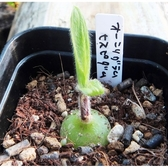 XOrnithogalum hispidum塊根種子 (10顆裝)  進口多肉種子【B13】