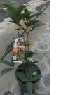 花花世界_綠籬植物--武藤香水紅桂花--/6吋盆/高20~25cm/TP