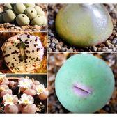 ⓒ肉錐花混合種子(10顆裝) 毛漢尼/勳章/燈泡多種混合【A12】