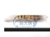 B2【魚大俠】SP071單凍野生肥豬蝦(約90~100g/尾規格)
