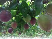 [嘉義]採果體驗-后羿農場(百香果、番茄、香瓜)