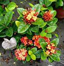 [橘色仙丹盆栽] 5吋盆 活體室外植物 ...
