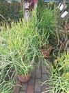 花花世界_室內盆栽--綠珊瑚--**好種好養**/8吋盆/高40~60CM/TC