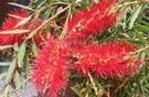 花花世界_襯景植物--串錢柳--適合庭園造景與行道樹/8吋盆/高40-50cm/TS