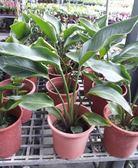 室內植物 ** 白花天堂鳥 ** 6吋盆/ 高25-40公分/具清新、高雅【花花世界玫瑰園】R