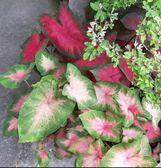 花花世界__室內植物--彩葉芋--又稱五彩芋或花葉芋/5吋盆/高30-40cm/Ts