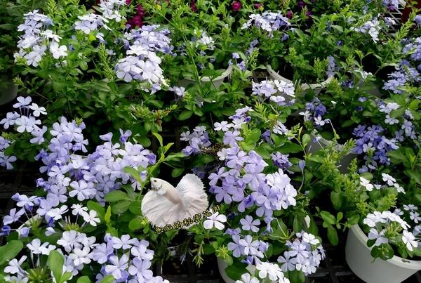 [ 藍雪花 ] 活體室外植物 5吋盆 開花植物盆栽
