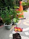 花花世界_季節水果苗--大果蜜柿(新品種)--/4吋盆/高20~30CM/TC