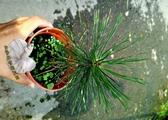 活體 [ 黑松 小松樹盆栽 ] 室外植物 3吋盆栽 送禮小品盆栽