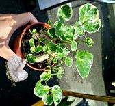 活體 [ 斑葉福祿桐 圓葉川七 ] 室內植物 3吋盆栽 送禮盆栽