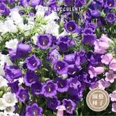 CARMO風鈴花種子 園藝種子(100顆) 【FR0034】