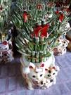 花花世界_室內植物--幸運竹(招財貓小三層)--** 常綠植物**/約25CM/TC