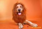 大型犬頭套 獅子頭假發大狗裝扮飾品頭飾配飾金毛薩摩【小獅子】
