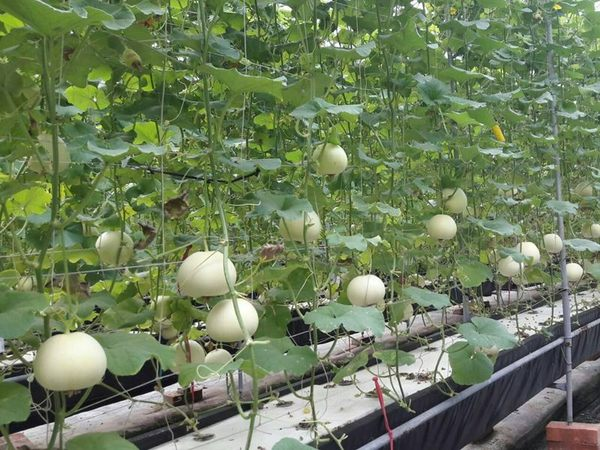 [彰化]採果體驗-禾果多農企工坊(小番茄每年1月初~4月底;東方甜瓜每年6月初~11月初)