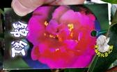 [錦紅茶花苗] 3.5吋 觀賞茶花盆栽 活體花卉盆栽 半日照 需換盆才會比較快開花