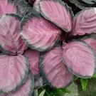 花花世界_綠籬植物--紅玫瑰竹芋--**淨化空氣**/6吋盆 / 高20-30公分/ TC