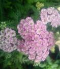花花世界_香草植物--西洋蓍草--稱(歐蓍草) --5吋盆/高20-30公分/Ts