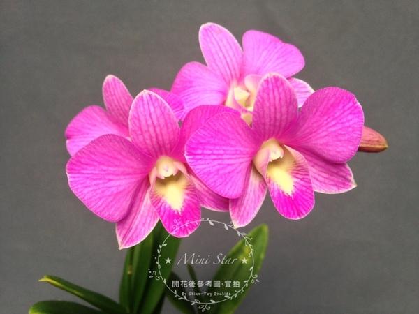 ★Mini Star★ 千姿蘭園Chian-Tzy Orchids 秋石斛蘭 Den. - 千姿粉色佳人