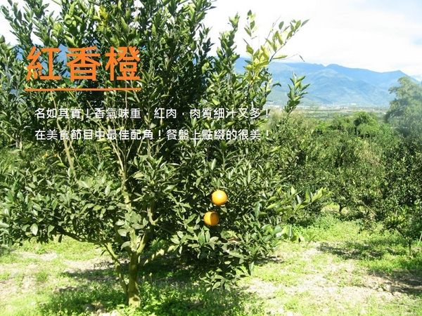 1月很甜的紅肉 紅香橙★花蓮無毒農業 8斤 紅江橙