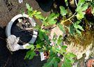 活體 [無花果] 室外植物 食用果樹 8...