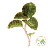頂級養生食材 台灣金線連 40g【NICE GREEn美蔬菜】
