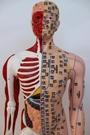 刻字超清經絡通男女人體模型人體經絡半皮半肌肉解剖針灸穴位人模