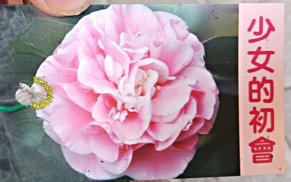 [少女的初會茶花苗] 3吋 新品種觀賞茶花盆栽 活體花卉盆栽 半日照 需換盆才會比較快開花