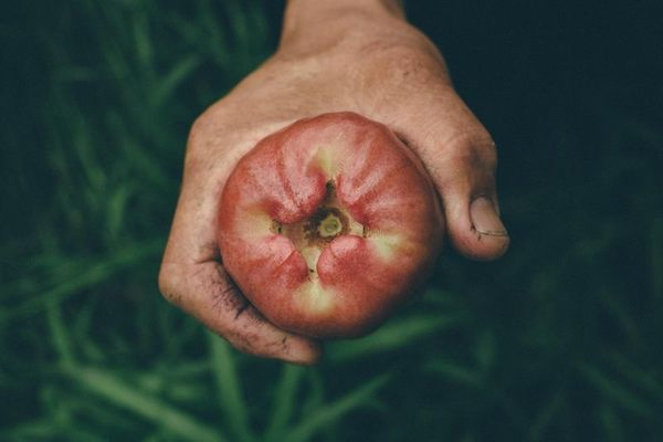 [宜蘭]採果體驗-阿東的蓮霧園(蓮霧)