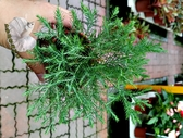 活體 [ 翠柏 圓柏 小松樹小柏樹] 室外植物 3吋盆栽 送禮小品盆栽