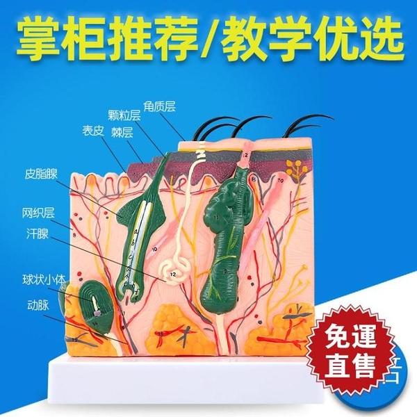 人體皮膚組織結構放大解剖模型 美容整形立體皮膚模型 YXS交換禮物