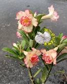 [莎莉] 新品種複瓣沙漠玫瑰 5寸盆 多年生觀賞花卉盆栽 室外半日照佳 ~ 寄出時不一定還有花!!