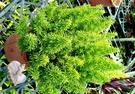 活體 [狐尾武竹] 室外植物 5-6吋盆...