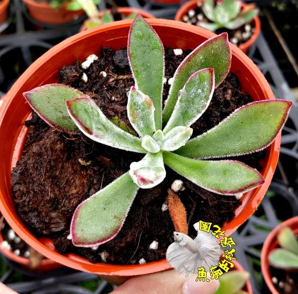[紅輝壽] 活體多肉植物 3吋多肉植栽 組合盆栽 半日照佳 送禮首選小盆栽