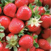 楓和草莓園・甜美香水草莓(大果約20-25顆/600g/盒,共兩盒)