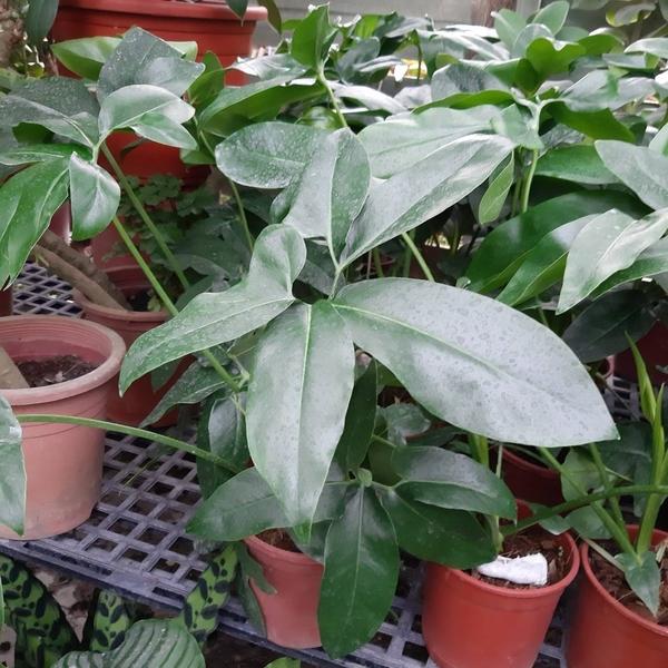 花花世界_綠籬植物--鵝掌蔓綠絨--**大麻葉花蜀**/6吋盆 / 高50-60公分/ TC